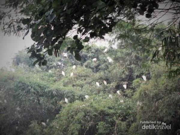 Ratusan burung blekok di Rancabayawak