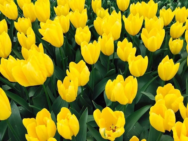 Aih Cantiknya Bunga Tulip Di Belanda