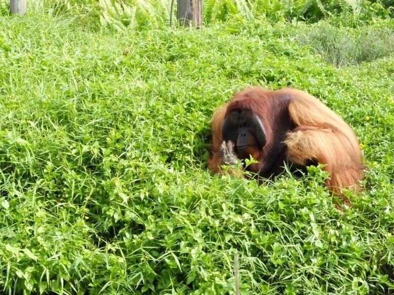 Orangutan bernama Bujang (Afif/detikcom)