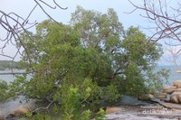 Sebuah pohon mangrove tumbuh subur di bibir pantai