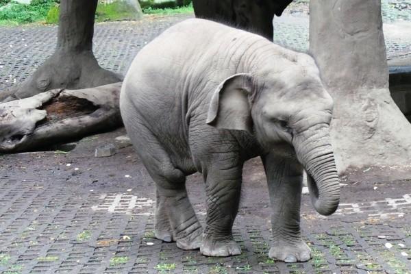 Inilah Raflesia, bayi gajah yang diberi nama oleh SBY (Wahyu/detiktravel)