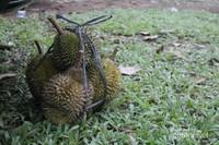 Durian Leupung siap di Banwa Pulang