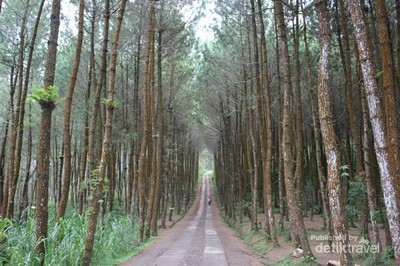 Yang Tengah Hits di Magelang, Hutan Pinus Kragilan