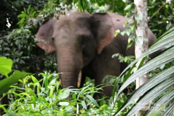 8600 Gambar Hewan Langka Gajah Sumatera HD