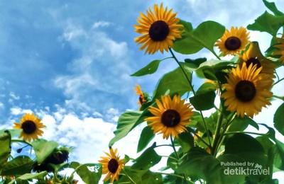 Seperti di Luar Negeri, Kebun Bunga Matahari di Kediri