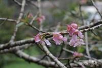 Bunga sakura bermekaran di Kebun Raya Cibodas