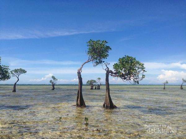 Pohon Menari di Pantai Walakiri
