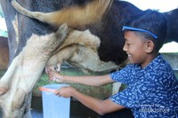 seorang anak sedang belajar memerah susu Sapi