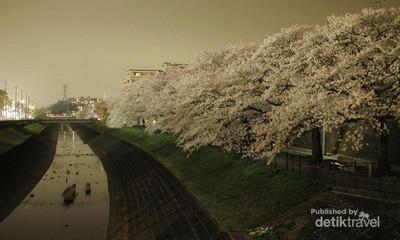 Musim Semi Tiba, Saatnya Menikmati Sakura di Jepang