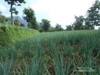 Ladang sayur warga yang di lewati