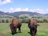 Dua ekor bison