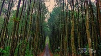 Pesona Hutan Pinus Kragilan