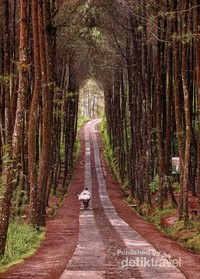 Melintas hutan Pinus