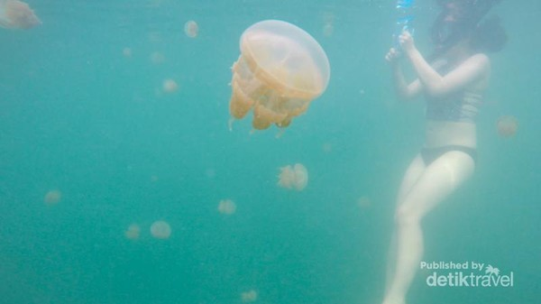 Traveler terlihat akrab dengan ubur-ubur di danau Kakaban