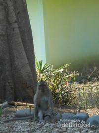 Monyet-monyet yang banyak berkeliaran di sekitaran pantai