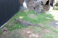 Komodo di Museum Komodo Taman Mini