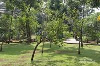 Pohon Dadap Merah yang namanya diambil untuk taman ini