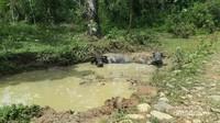 Bertemu 2 ekor kerbau yang sedang berkubang pada saat trekking menuju air terjun cunca wulang