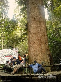 Pohon Ulin di Taman Nasional Kutai adalah harta tak ternilai bagi warga Kalimantan