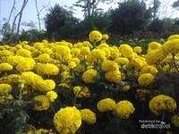 Siapa yang ingin foto diantara bunga marigold?