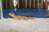 Tokek atau gecko