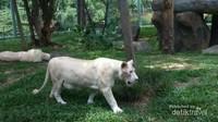 Harimau putih sebagai daya pikat Faunaland Ancol