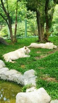Singa putih yang langka dari Afrika