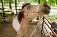 Kuda poni dengan mata unik berwarna biru ini pun bisa kita temukan di kawasan Ecopark Ancol