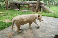 Singa putih asli Afrika Selatan, spot yang paling dicari di Faunaland
