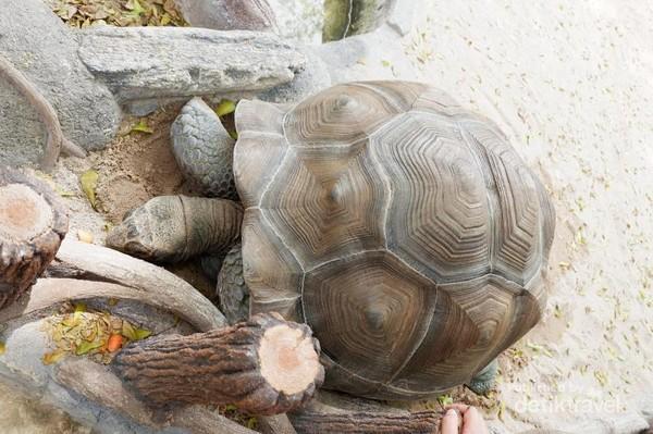 Kura-kura raksasa Aldabra ini bisa hidup hingga ratusan tahun. wow