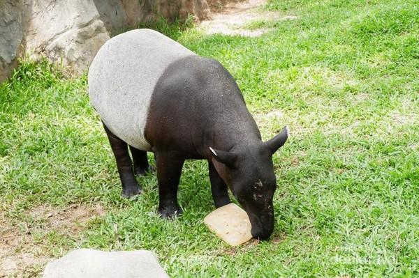 Tapir Albino ini makanannya harus dibekukan terlebih dahulu karena ia suka makan yang asam dan dingin