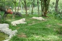 Singa Putih dari Afrika