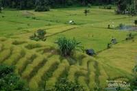 Sawah nan cantik di kaki Gunung Sorik Merapi.