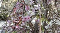 Bunga sakura siap menghipnotis setiap pengunjung yang hadir dengan pesona keindahannya