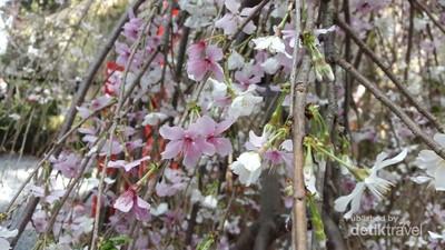 Saat Sakura Mekar di Singapura