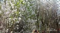 Banyak kamera sibuk mengabadikan moment bersama jenis-jenis sakura yang ada di Gardens by the Bay