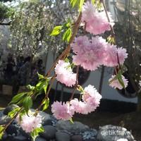 Kini tidak perlu lagi jauh-jauh ke Jepang untuk melihat sakura secantik ini