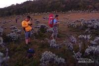 Dua pendaki tiba di padang edelweiss, Alun-Alun Suryakancana.