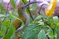 Takur Api (Psilopogon pyrolophus), burung pemakan buah dan sernagga dengan suaranya yang khas.