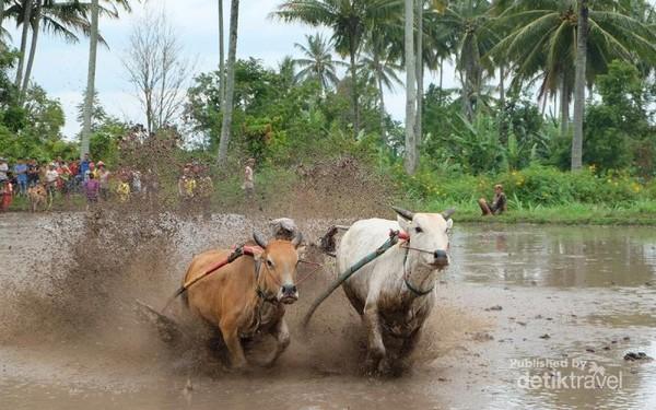 Di Sumatera Barat sapi biasa disebut dengan jawi. Kegiatan Pacu Jawi merupakan acara permainan tradisional anak nagari (desa) yang lahir dan berkembang di Kabupaten Tanah Datar, Provinsi Sumatera Barat