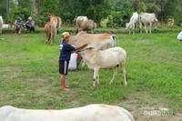 Sapi-sapi ini disayang seperti anak sendiri