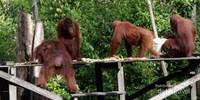 Melihat orangutan