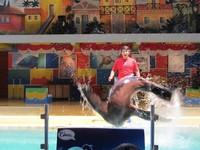 Selain itu singa laut juga gemar salto dari dalam kolam