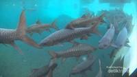 Ikan - ikan Dewa yang berada di dasar kolam pemandian Cibulan