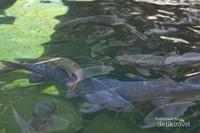 Ikan - ikan Dewa ini konon jumlahnya selalu tetap, tidak berkurang ataupun bertambah