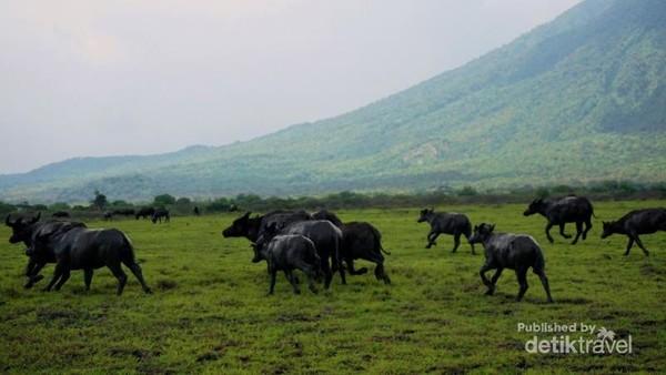 Bos javanivus atau dikenal dengan banteng jawa berlari menghindari mobil wisatawan