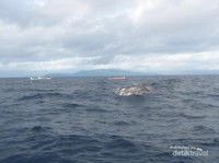 Atraksi lumba-lumba di Teluk Kiluan.