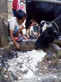memberi makan sapi dan memerah susunya.