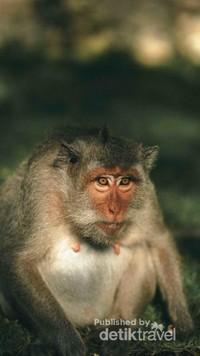 Pura Uluwatu juga terdapat monyet-monyet