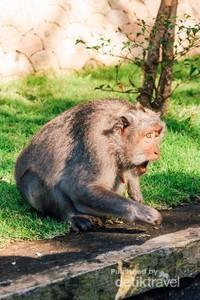 Begitu sampai di Pura Luhur Uluwatu, kita akan disambut oleh ratusan monyet yang berkeliaran bebas di dalam kompleks